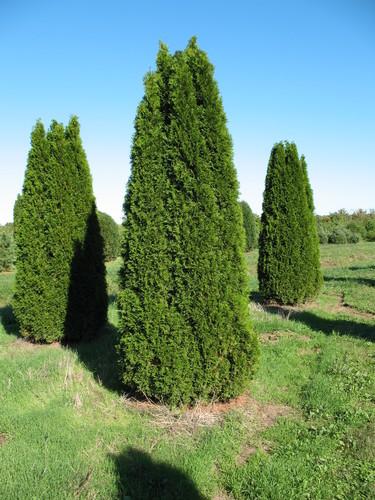 Full thuja occidentalis smaragd
