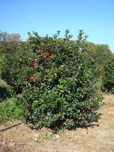 Full ilex meserveae berri magic royalty